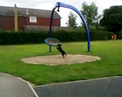 Dog Pushes A Basket Swing