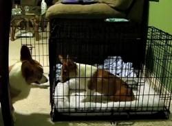The Saturday Pet Blogger Hop: Corgi Jail Break