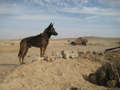 Download Afghanistan Army Adorable Dog - military-working-dog  Pictures_386073  .jpg
