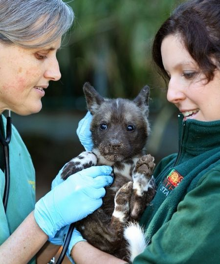 Perth Zoo Welcomes New Painted Dog Litter