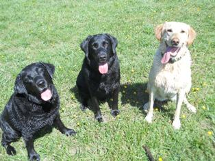 very happy labs after swimming in the pond near our Cecil County MD home.
