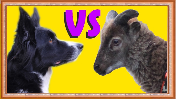 Dog Vs Sheep: Trick Showdown!