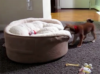 Bed Haulin' Pup