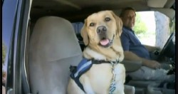 Service Dog Fetches Help For Injured Owner