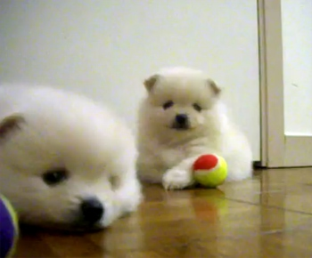 Pom Pups Play with Tiny Tennis Balls