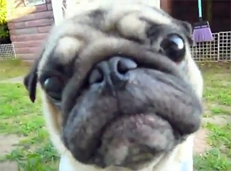 Pug Stare: Look Into My Eyes…