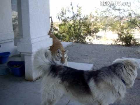 Tiger: Beware of Dog?