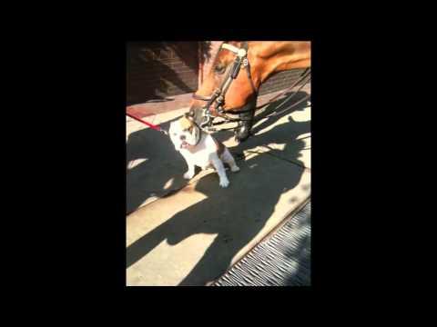 Police Horse Gives Bulldog a Bath