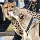 Shelter Dogs Partnered with Cheetahs