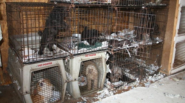 Humane Society Accuses American Kennel Club of Protecting Puppy Mills