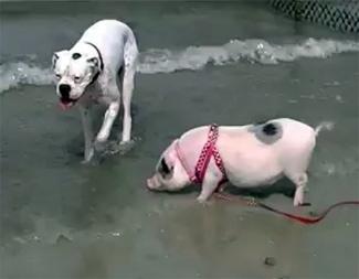 Mini Pigs Frolic at Dog Beach