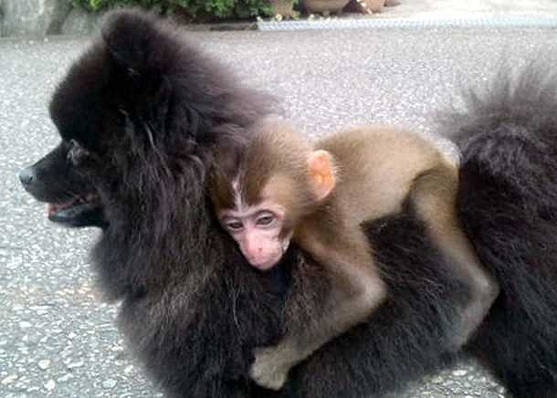 Wild Baby Monkey Hitches a Ride with Dog