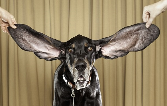 world record for longest dog ears