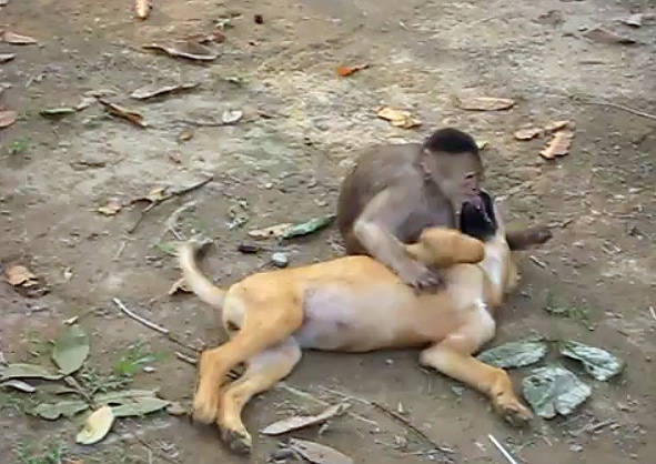 Monkey Tackles Dog