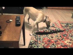 The Saturday Pet Blogger Hop: Dog vs Rug