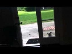 Pug vs. Open Door