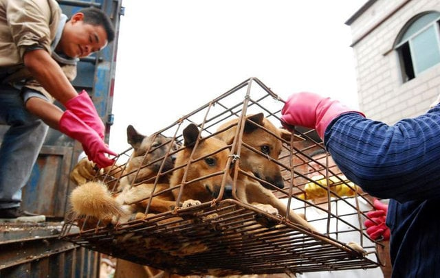 Chinese Activists Save 800 Dogs from Slaughter