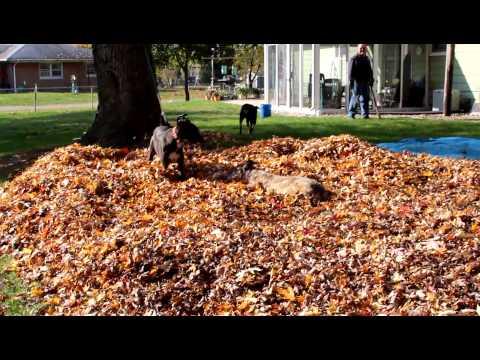 Leaf Pile Zoomies