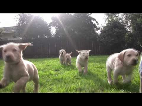 Slo-Mo Lab Puppies at Play