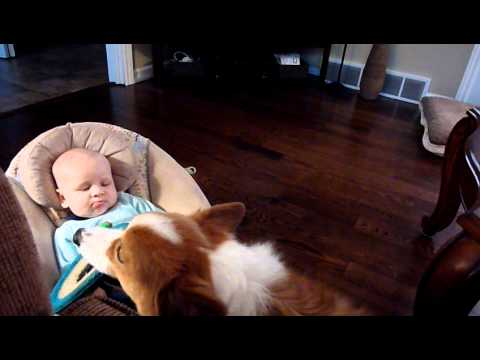 Corgi Wants Baby to Play Fetch