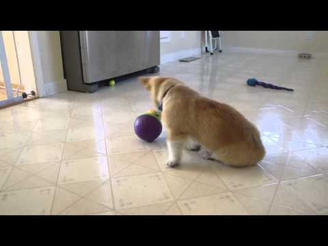 Corgi Puppy and His Bob-a-Lot Toy