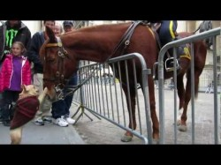 Frenchie Plays with NYPD Police Horse on Wall Street