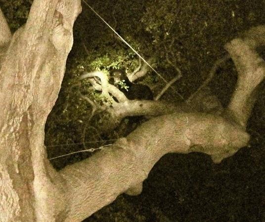 Pint Sized Chihuahua Trees Bear