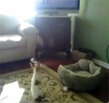 Chachi Watching Hachi