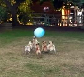 Pug Soccer Team