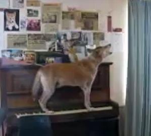 A Dingo Ate my Pianist