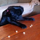 Adorable Pug Puppy Fishes For Cheerios