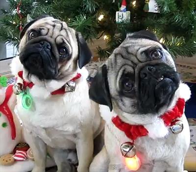 Christmas Pug Head Tilt