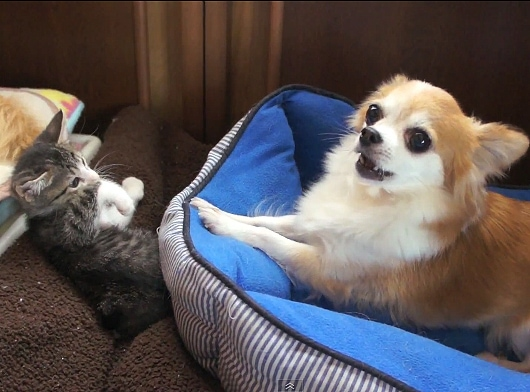 Cute Dog Provokes Kitten