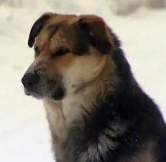 Yakutian Hachiko Stands by Fallen Mate