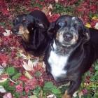 Canine Intervertebral Disk Disease