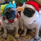 Pug Christmas Photo Shoot Gone Bad