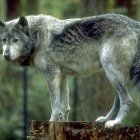 wolf standing on a tree stump