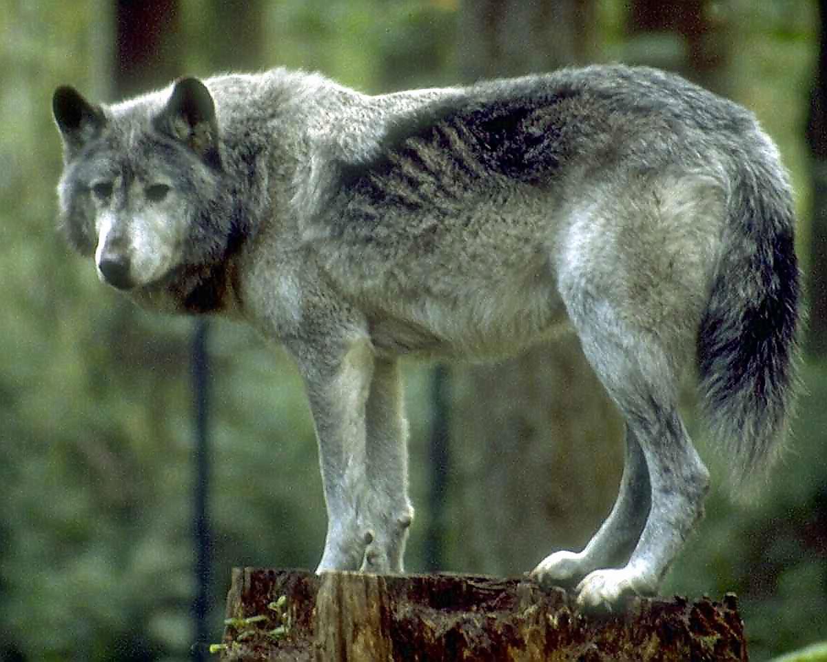 wolf standing on a tree stump