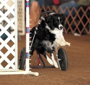 Dog in Wheelchair Runs Agility Course