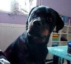 Rottweiler Loves Pink Floyd