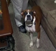 Boxer Puppy Saves Family