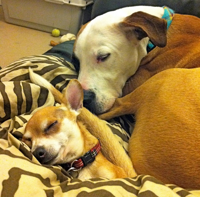 Arnold and Dearheart: Bonded Chihuahua and Pitbull Seek Adoptive Home