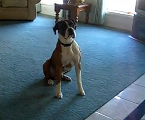 Boxer is Excited to Go For a Walk