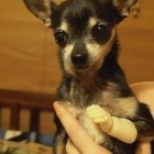 Chacha Loses a Paw, Gets a New Hand