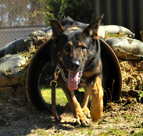 Senate Bill Will Help Retired War Dogs Find Homes
