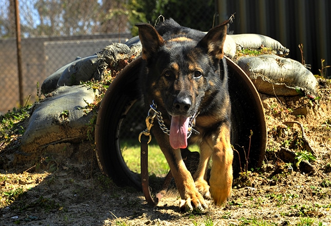 Raising the awareness about the human impact on the lives of animals - Page 3 Military-dog2
