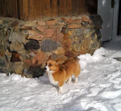 Corgi Survives Four Day Burial by Killer Avalanche