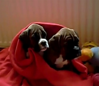 Bedtime for Boxers