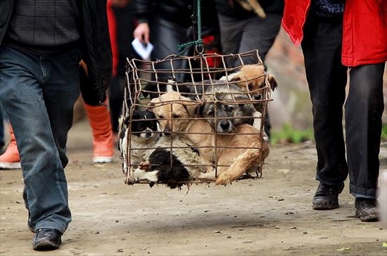 Chinese Rescuers Seek Homes for 1100 Confiscated Dogs - photo#46