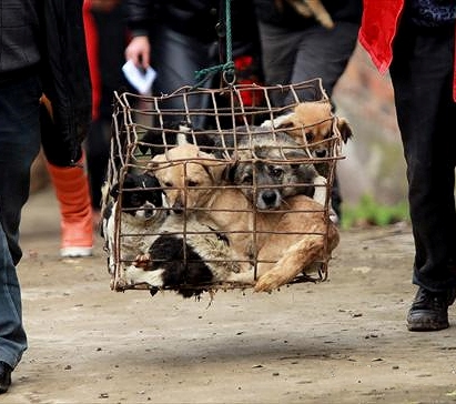 Chinese Rescuers Seek Homes for 1100 Confiscated Dogs